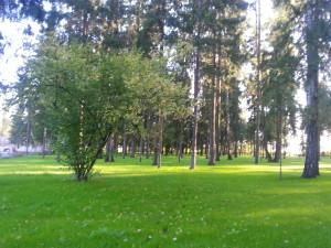 посадка крупных деревьев